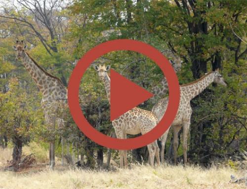Course de girafe [Vidéo]
