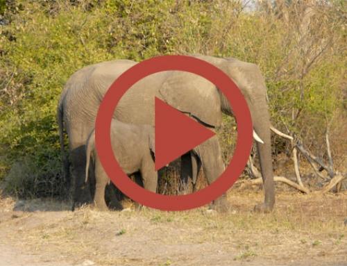 Un éléphant peut en cacher un autre [Vidéo]