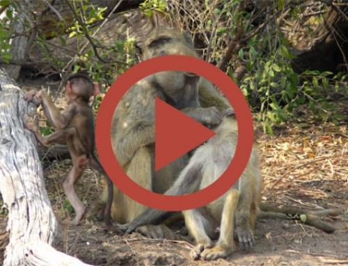 Babouin de père en fils [Vidéo]