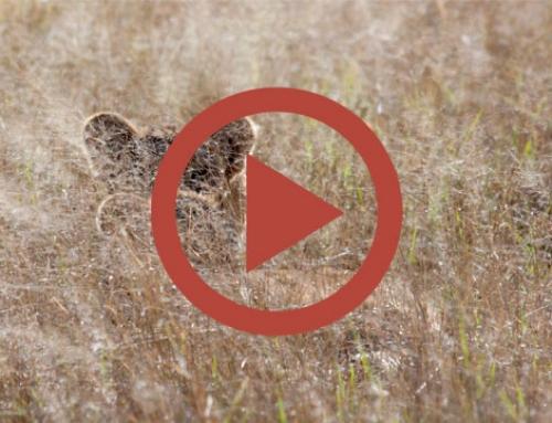 Les lionceaux de Ngweshla [Vidéo]