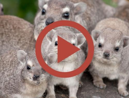 Histoire de damans [Vidéo]