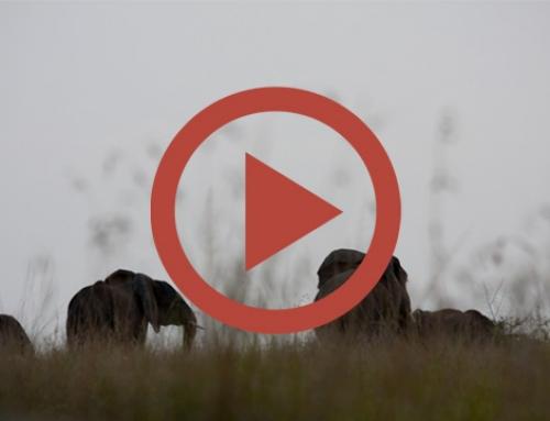 Les éléphants d'ishasha [Vidéo]