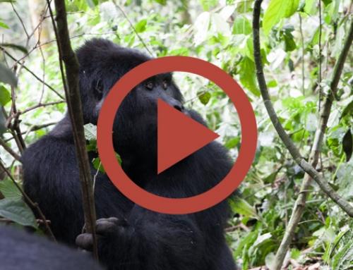 Les gorilles de Nkuringo [Vidéo]