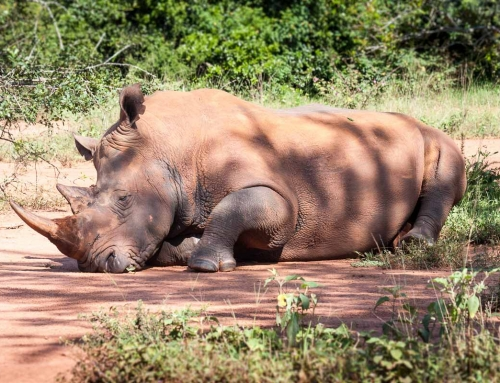 Un nouveau petit rhino est né au Ziwa (Ouganda) !