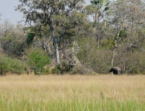 On a entendu les lions de l'Okavango !