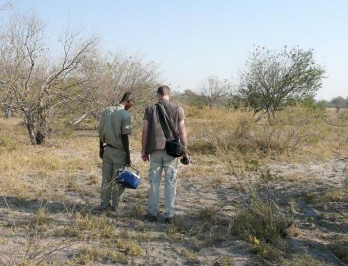 Premiers pas dans la brousse de l'Okavango