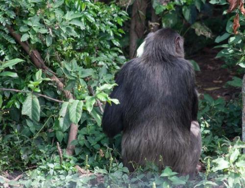 Ngamba Island ou l'île des chimpanzés
