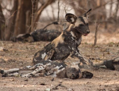 Les lycaons ou chiens sauvages