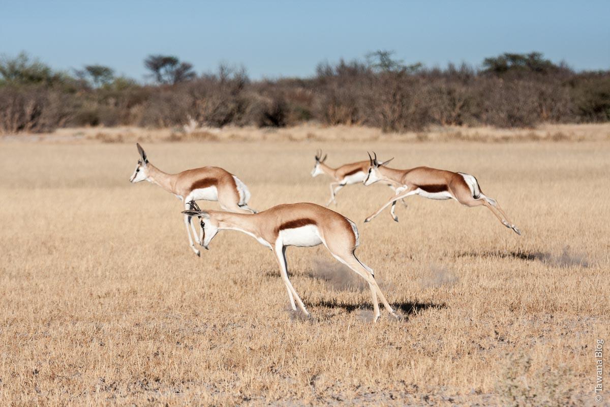 """Résultat de recherche d'images pour """"afrique du sud troupeau springbok"""""""