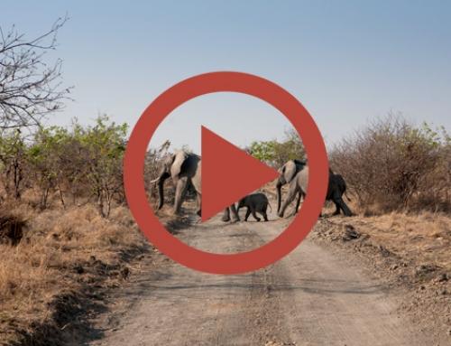 La patrouille des éléphants de Mayukuyuku [Vidéo]