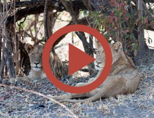 Les jeunes lions de Mayukuyuku [Vidéo]