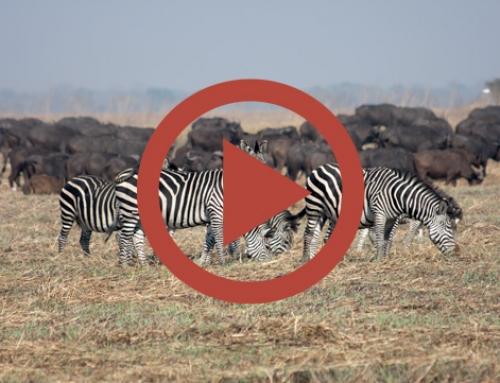 Les herbivores des Busanga Plains [Vidéo]