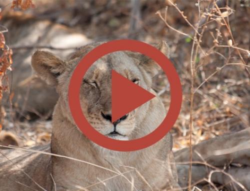 Lions au repos, paparazzi en action ! [Vidéo]