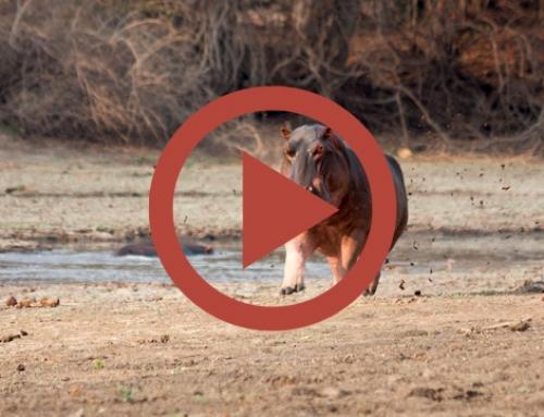 Gaffe aux hippos ! [Vidéo]