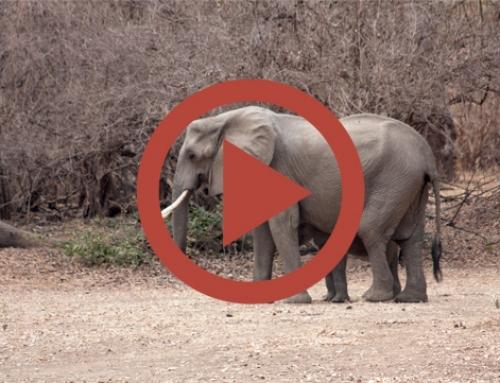 Gaffe aux éléphants aussi ! [Vidéo]