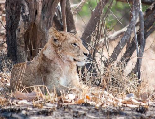 Zambie : Des lions et des tsé-tsé (épisode 1)