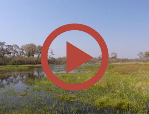 Concert d'hippos [Vidéo]