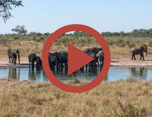 Les éléphants de Tshebetshebe [Vidéo]