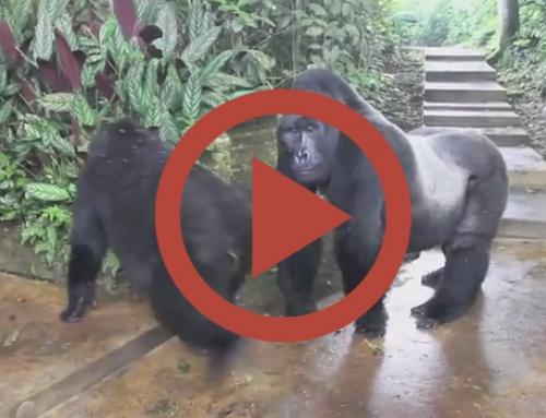 Rencontre du 3e type … avec des gorilles [Vidéo]