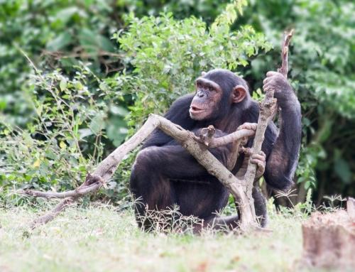 Prendre un chimpanzé par la main à Ngamba Island