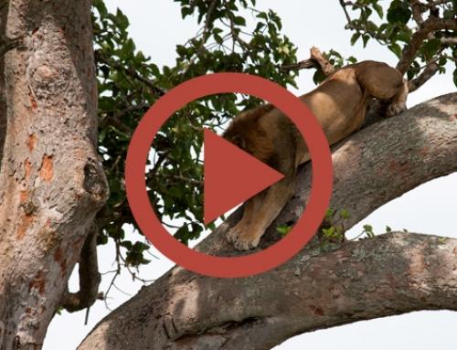 Le lion d'ishasha sur son arbre perché [Vidéo]