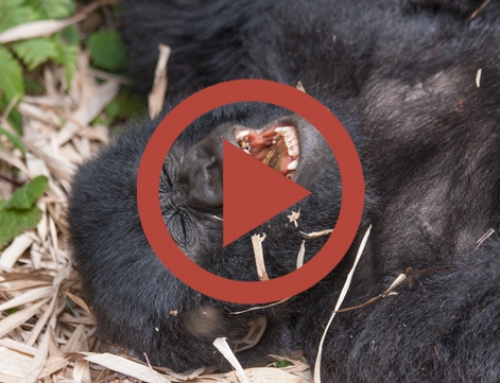 Les joyeux petits gorilles d'Hirwa [Vidéo]