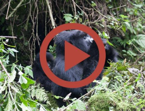 Les gorilles d'Hirwa passent à table … [Vidéo]
