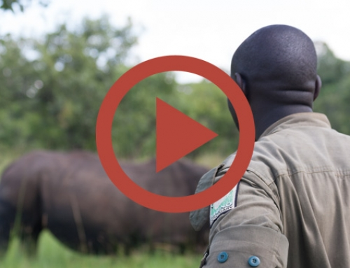 Face aux rhinos du Ziwa [Vidéo]