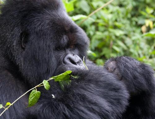 Les gorilles de la montagne perdus dans les brumes des Virunga …