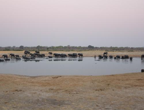 Mission léo : Comptage de 24h au point d'eau de Nyamandhlovu (épisode 1)