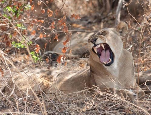 Les lions