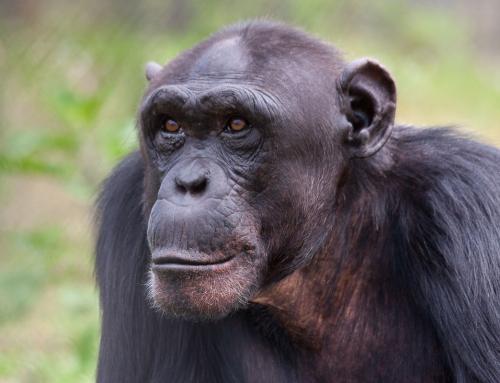 Les chimpanzés