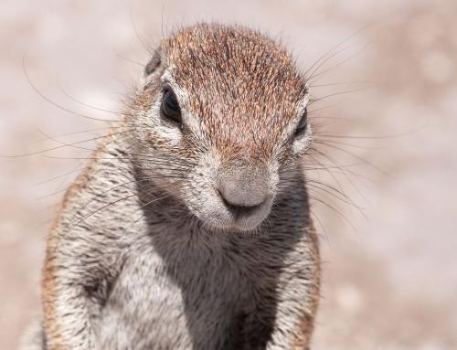 Les écureuils du Cap (Ground Squirrels)