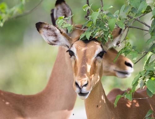 Les impalas