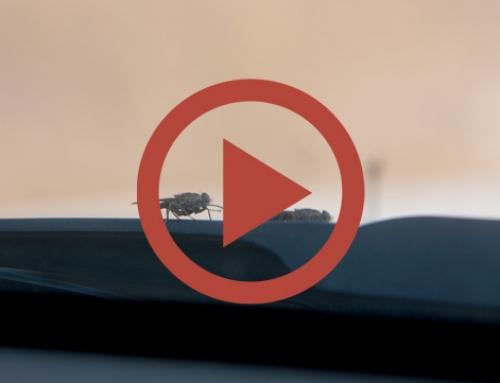 Tsetse flies attack ! [Vidéo]