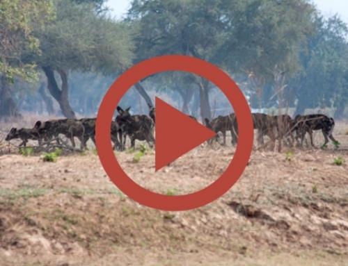 Rencontre avec les chiens sauvages [Vidéo]