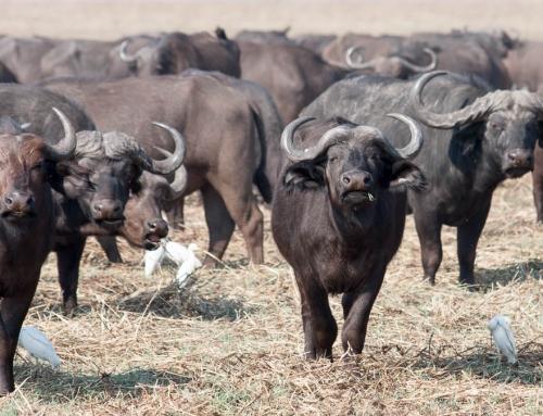 Zambie : Des buffles et des tsé-tsé (épisode 2)