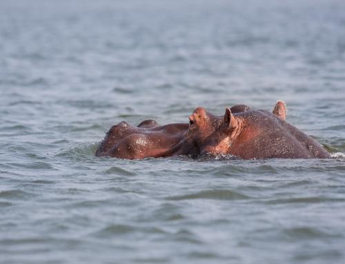 Canoë sur le Zambèze : Oh hippo days … Oh hippo days …